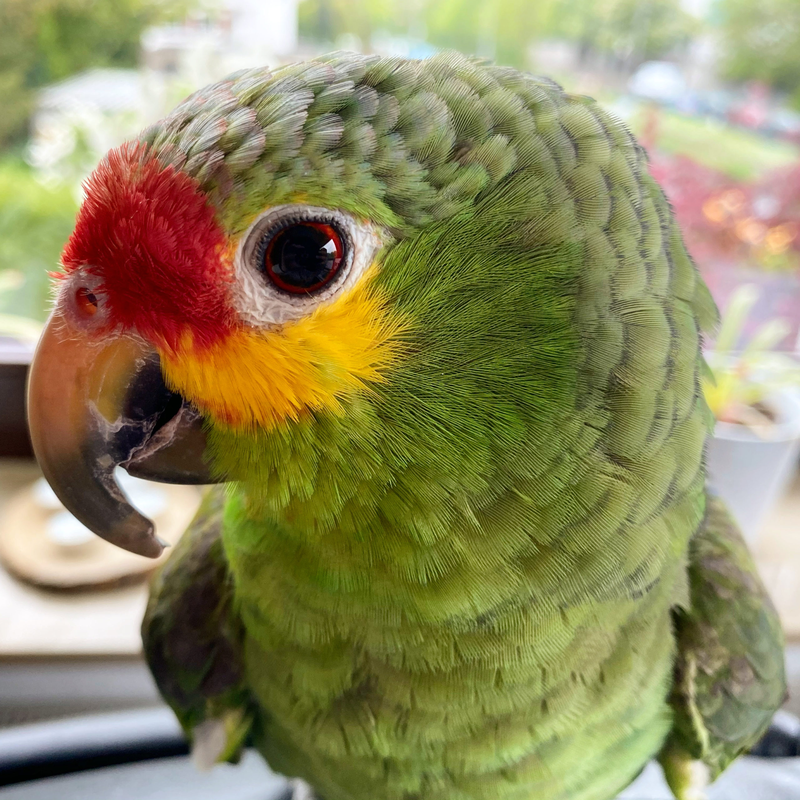 Ernie the bird CEO of Happiness Parrot Papagei Amazon